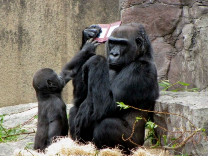 http://i1.r7.com/data/files/2C92/94A3/2A5B/92E4/012A/5E0D/7FF0/2B29/gorila1.jpg
