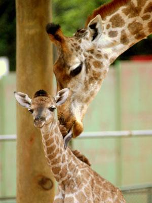 http://i1.r7.com/data/files/2C92/94A3/2BC2/A9AB/012B/CA5C/4165/0ED8/girafa-zoo-sp.jpg