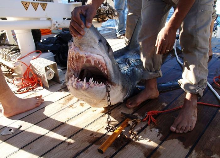 tubarão, Egito, ataque