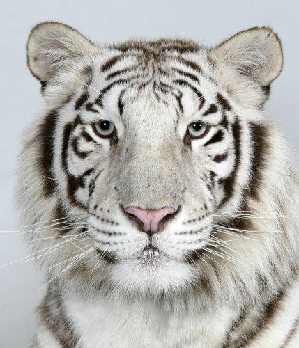 foto tigre bengala: