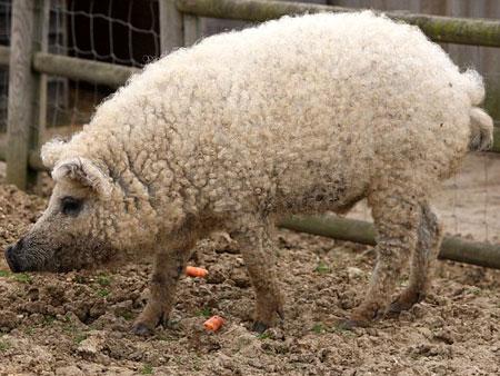 Porco com pele de cordeiro cobre ingleses de d vidas esquisitices r7 - Cochon de toy story ...
