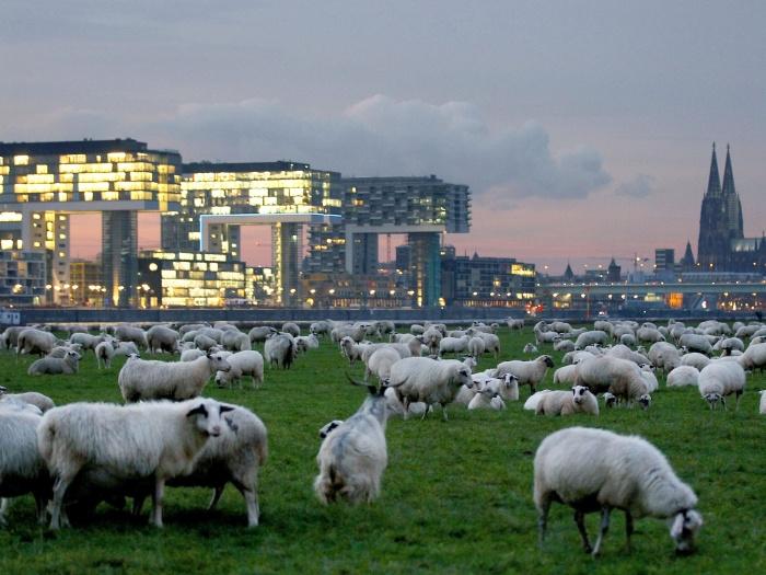 Ovelhas pastando na Alemanha