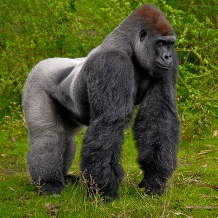 gorila-da-montanha