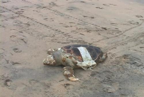 foto tartaruga - macae