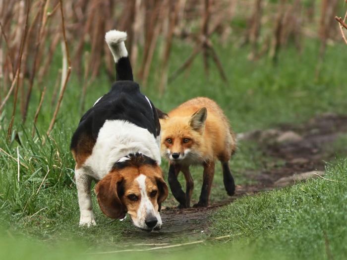 beagle e raposa