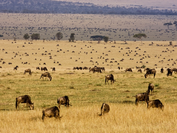 Bando de 1 milhão de gnus marcha da Tanzânia ao Quênia