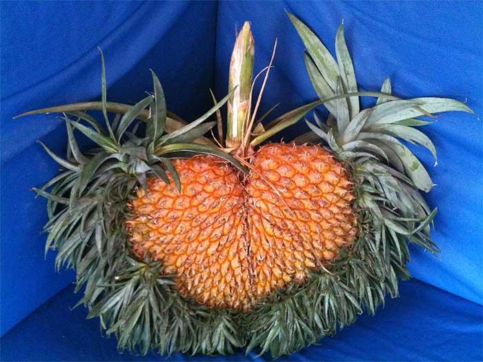 abacaxi coração - 700 x525