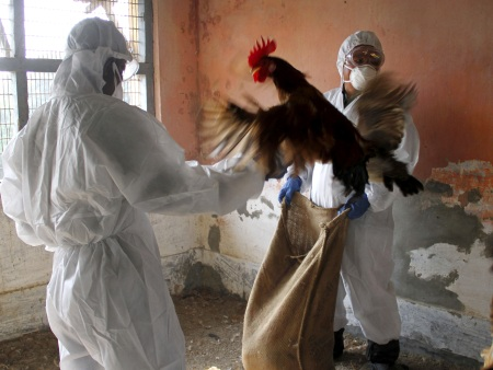 Gripe aviária India HG