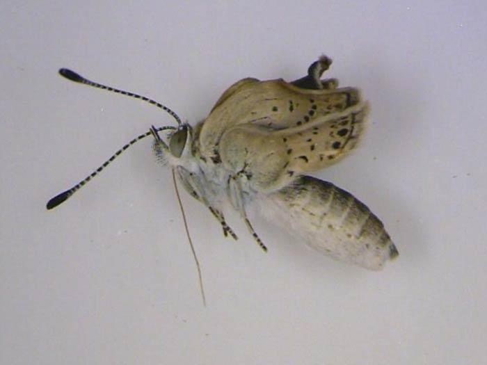 borboleta mutante