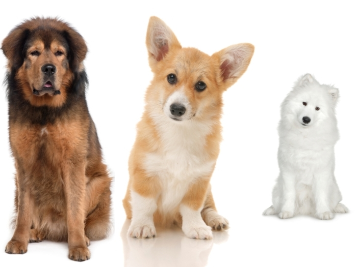 Raças de cachorro mais caras do mundo valem mais do que carro ...