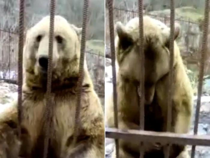Todo tímido, urso fica envergonhado ao ser filmado na Rússia ...