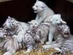 Filhotes de tigre branco brincam com bebês de leão branco