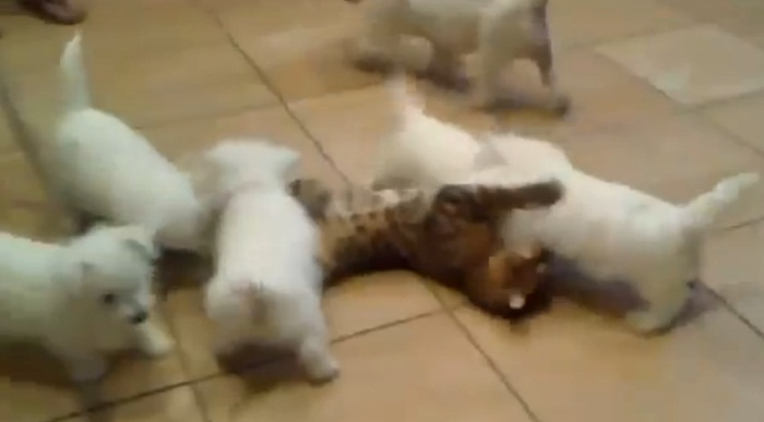 Filhotes de cachorro fazem &quot;montinho&quot; em gato - Bichos - R7