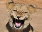 Leão tem ataque de riso e vira sensação nas redes sociais