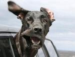 Cães colocam a cabeça para fora do carro em fotos divertidas