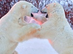 Ursos polares brigam feio e fotógrafo registra tudo de pertinho