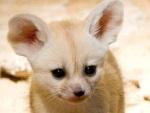 Já viu filhotinhos de raposa? Eles são muito fofos!