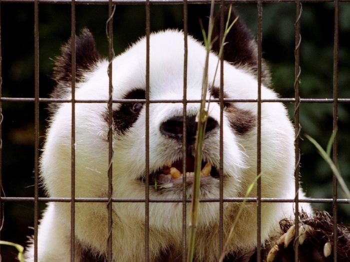 Panda mais velha do mundo