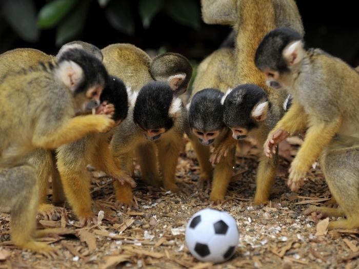 O Zoo de Londres tem exatamente 22 micos-de-cheiro; espécie de macaco comum na Amazônia. Esses espertos animais poderiam se dividir em dois times e jogar u...