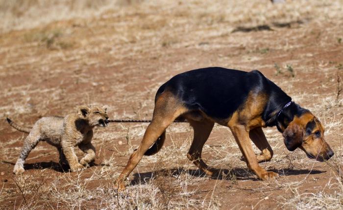 Norman e Bhubesi vivem juntos, no parque africano. O leãozinho, de três meses de vida, é praticamente a sombra do cachorro, de um ano e meio. Uma de suas b...