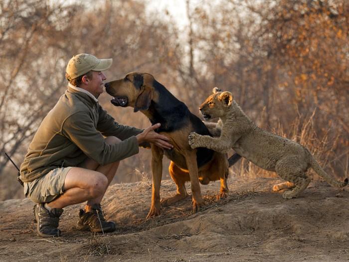 Quando Norman dá mais atenção para Jaco Venter, que cuida dos dois animais, Bhubesi logo sente ciúme
