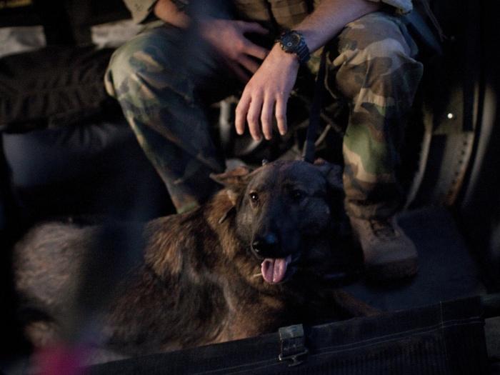 cão afegan
