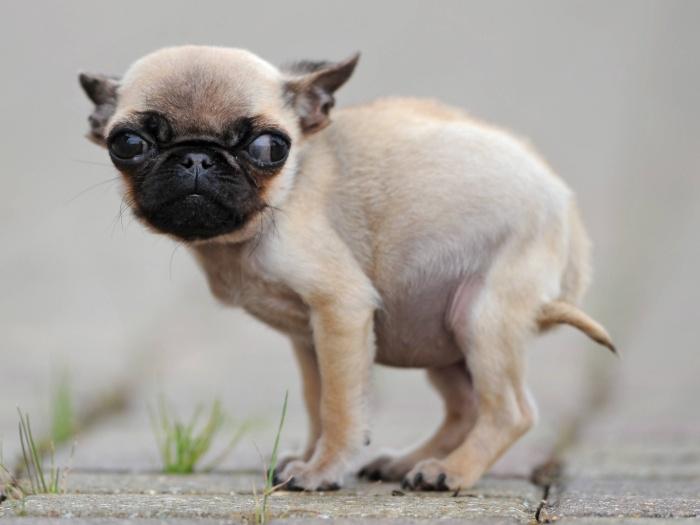 Os veterinários acreditam que Gracie sofre de nanismo. Com cinco meses de idade, os pugs medem no mínimo 25 cm, enquanto a cadela de Sandra mede só 15 cm