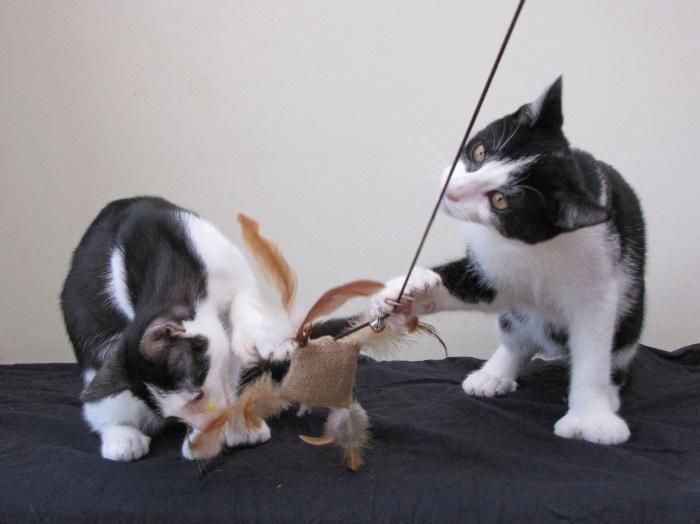 Gatos podem ser estimulados pela 'maconha' do bichano