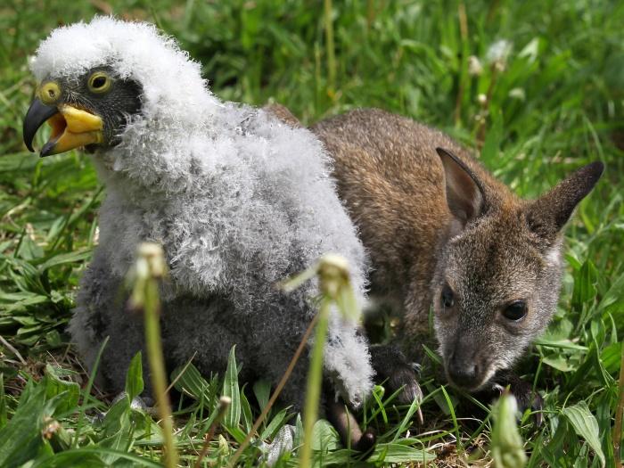 Canguru e papagaio da Nova Zelândia criam amizade