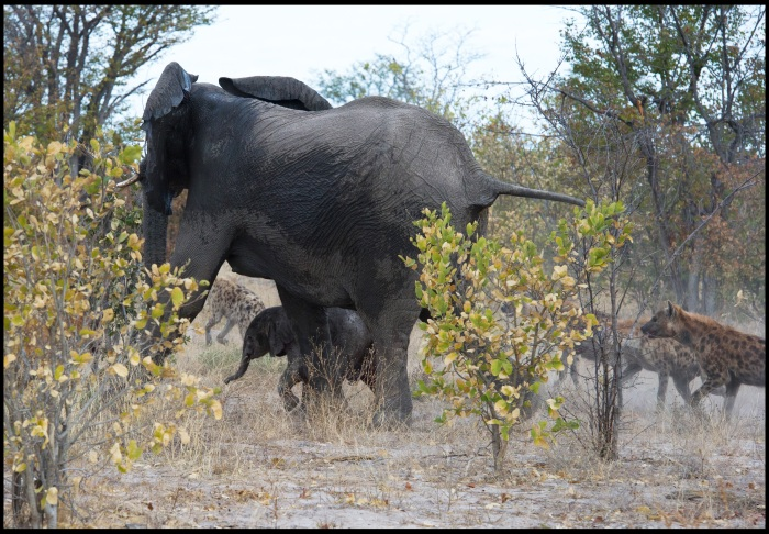 Fotos mostram luta de mãe elefanta para salvar bebê de hienas ...