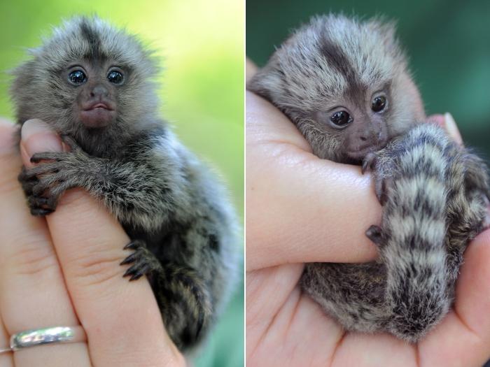 mico peludo