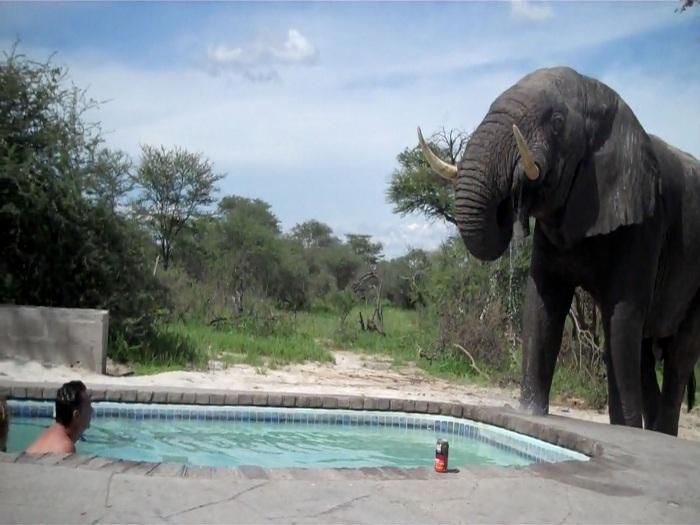 Ai, que calor! Elefante invade piscina para beber água - Foto 1 ...