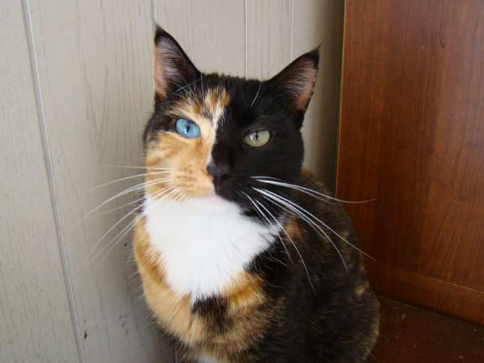 Half Black Half Calico Cat Pictures to Pin on Pinterest ...