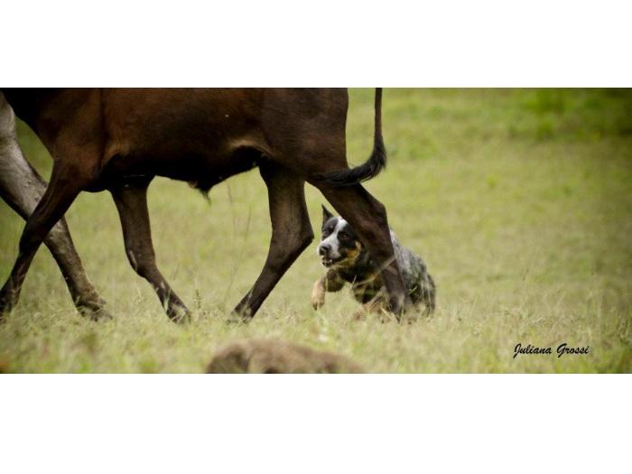 Reprodução/Canil Minas Heeler