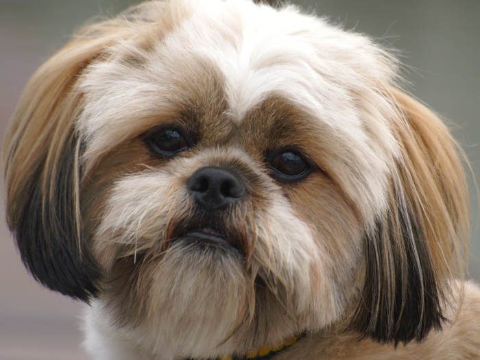Conheça as dez raças de cães mais queridas pelos brasileiros